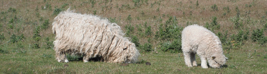 Two really wooly sheep in a field